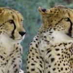 Malawi cheeta cheetah jachtluipaard Majete Liwonde atuu travel