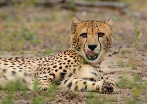 Malawi cheeta Wesley Hartmann atuu travel rondreis Majete Liwonde