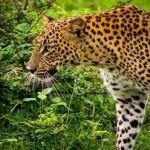 Sri Lanka yala national park luipaard atuu travel vakantie rondreis op maat