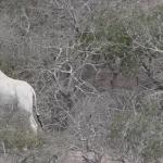 Kenia witte giraffe ishaqbini rondreis safari Afrika atuu travel