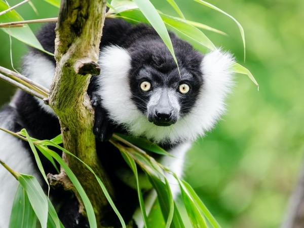 madagascar madagaskar lemuur lemuren individuele rondreizen maatwerk vakantie atuu travel