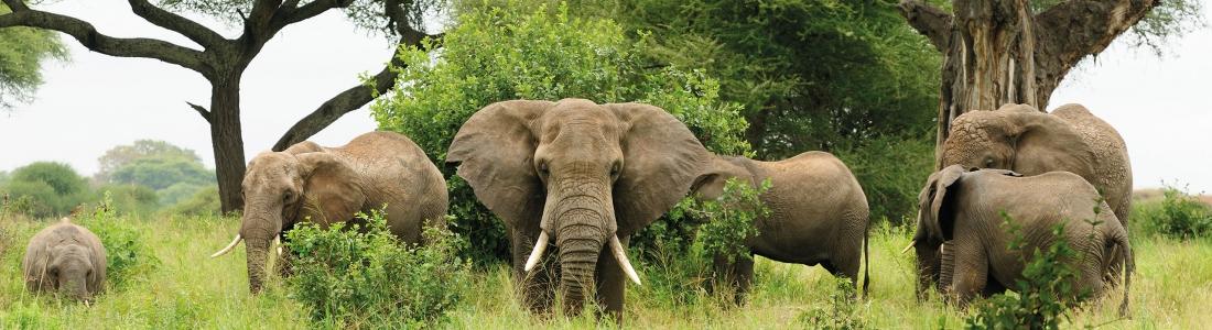 Stroperij op olifanten in Afrika daalt