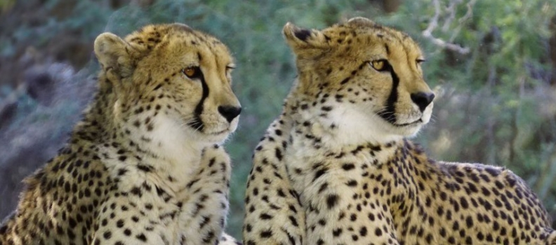 Herintroductie cheeta's in Majete Wildlife Reserve in Malawi