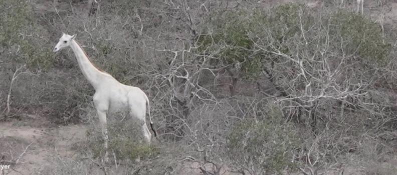 De witte giraffen van Ishaqbini in Kenia