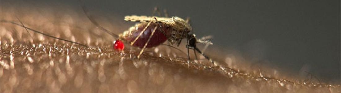 Schimmel kan 99 procent van malariamuggen doden