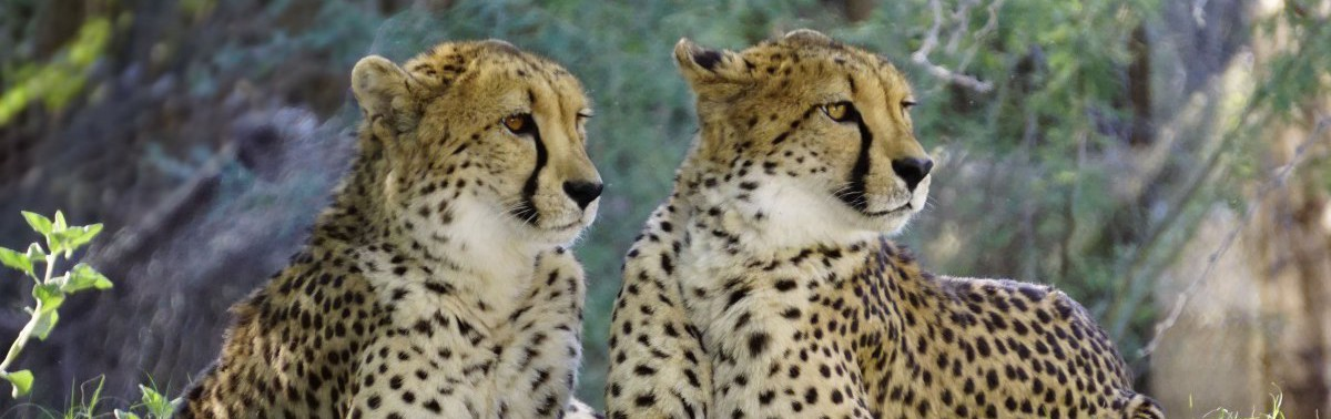 Herintroductie cheeta's in Majete Wildlife Reserve in Malawi