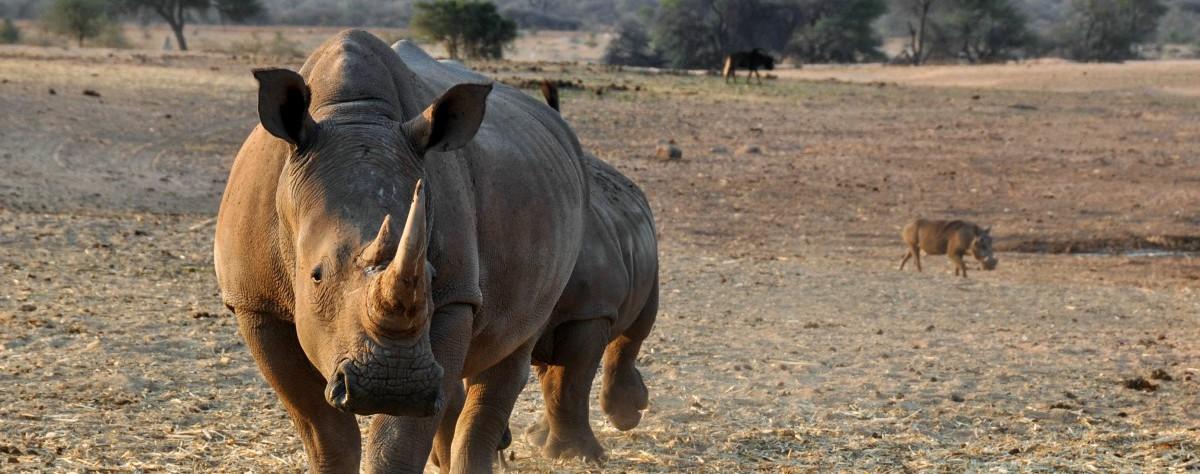 Zestien zwarte neushoorns verhuisd naar eSwatini