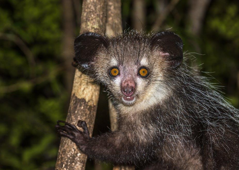 Bijzondere ontdekking: Madagascar's bizarre aye-aye lemuur heeft zes vingers
